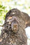 Eichhörnchen, das Nüsse anhaftet und isst Lizenzfreies Stockbild