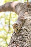 Eichhörnchen, das Nüsse anhaftet und isst Stockfotos