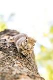 Eichhörnchen, das Nüsse anhaftet und isst Lizenzfreie Stockbilder