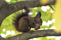 Eichhörnchen, das Nüsse auf einem Baumast isst Lizenzfreies Stockfoto