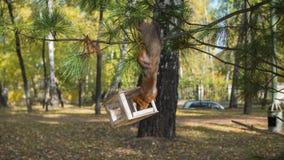 Eichhörnchen, das Nüsse von den Vogelzufuhren isst Stockfotografie