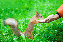 Eichhörnchen, das Nüsse von der Frauenhand isst Stockfoto