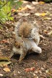 Eichhörnchen, das nach accorn sucht stockfotos