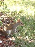 Eichhörnchen, das nach seiner Nuss sucht stockbild
