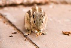 Eichhörnchen, das nah oben isst lizenzfreies stockbild