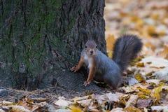 Eichhörnchen, das nahe dem Baum bleibt Stockfoto