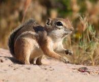 Eichhörnchen, das Nahrung erfasst Stockfotos