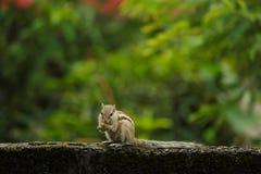 Eichhörnchen, das Nahrung isst Stockfotografie