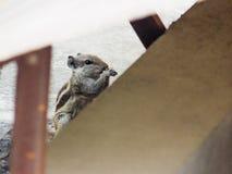 Eichhörnchen, das Nahrung isst Lizenzfreie Stockfotografie