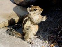 Eichhörnchen, das Nahrung isst Lizenzfreie Stockbilder