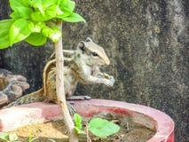 Eichhörnchen, das Nahrung isst Stockbild
