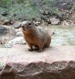 Eichhörnchen, das neben Fluss aufwirft Stockbild