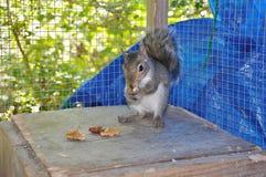 Eichhörnchen, das Nuss im Käfig isst Lizenzfreie Stockbilder