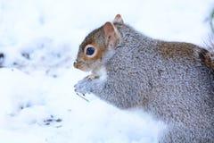 Eichhörnchen, das Nuss im Schnee isst Stockbilder