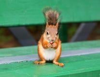 Eichhörnchen, das Nuss isst Stockfoto