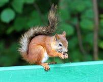 Eichhörnchen, das Nuss isst Lizenzfreie Stockfotografie