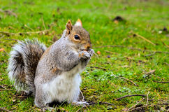 Eichhörnchen, das Nuss isst Stockbild