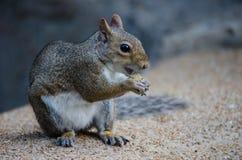 Eichhörnchen, das Nuss isst Auf Unschärfe Lizenzfreie Stockfotos