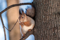 Eichhörnchen, das Nuss isst Auf Unschärfe Stockfotos