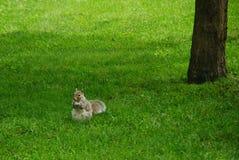Eichhörnchen, das Nuss isst Auf Unschärfe Lizenzfreies Stockfoto