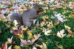 Eichhörnchen, das Nuss isst Auf Unschärfe lizenzfreie stockfotografie