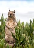 Eichhörnchen, das oben steht stockbild