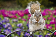 Eichhörnchen, das Plätzchen isst lizenzfreies stockfoto