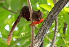Eichhörnchen, das rote Blumen-Knospe auf einem Baumast isst lizenzfreie stockfotos