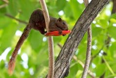 Eichhörnchen, das rote Blumen-Knospe auf einem Baumast isst stockfotos