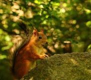 Eichhörnchen, das Samen auf dem Stein isst Stockfoto