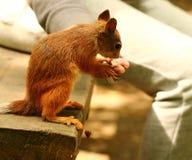 Eichhörnchen, das Samen auf der Bank isst Stockfotos