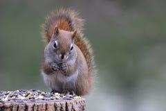 Eichhörnchen, das Samen isst Lizenzfreie Stockfotografie