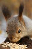 Eichhörnchen, das Samen von meiner Hand isst Stockbilder