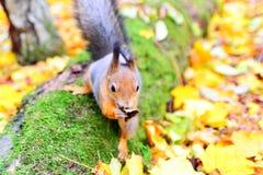 Eichhörnchen, das seinen Mund mit einem Blatt abwischt Lizenzfreie Stockfotos