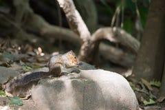 Eichhörnchen, das Snäcke auf Felsen kaut Stockfotografie