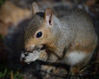 Eichhörnchen, das Sonnenblumensamen in der Natur isst lizenzfreies stockfoto