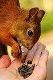 Eichhörnchen, das Sonnenblumensamen von meiner Hand isst Stockfotos