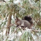 Eichhörnchen, das unter den Kiefernniederlassungen sitzt Stockbilder