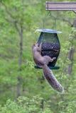 Eichhörnchen, das von einer Vogelzufuhr hängt stockfotos