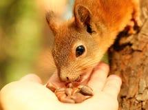 Eichhörnchen, das Zedernnüsse von meiner Hand isst Stockbild