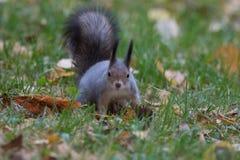 Eichhörnchen, das zur Kamera anstarrt Stockfotografie