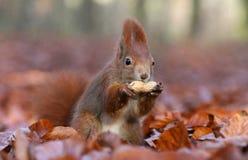 Eichhörnchen in den Herbstfarben stockfotografie