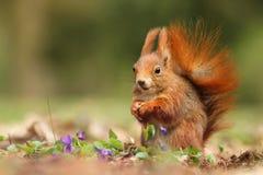 Eichhörnchen in den Veilchen Lizenzfreie Stockbilder