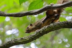 Eichhörnchen in der Aktion stockfoto