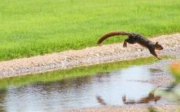 Eichhörnchen in der Bewegung - Eichhörnchen, das über einen Abzugsgraben in einem Park springt - gefangen in der mittleren Luft Stockfoto
