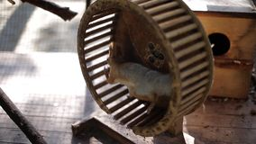 Eichhörnchen in der Gefangenschaft Eichhörnchen läuft mit Sorgfalt auf einem Rad Tiere in der Gefangenschaft stock footage