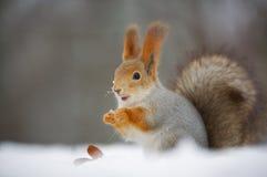 Eichhörnchen in der Natur Lizenzfreie Stockfotografie