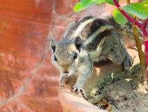 Eichhörnchen in der wachsamen Position Stockfotografie