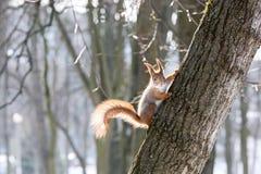 Eichhörnchen in der Winterzeit Lizenzfreie Stockbilder