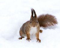 Eichhörnchen in der Winterzeit Stockbilder